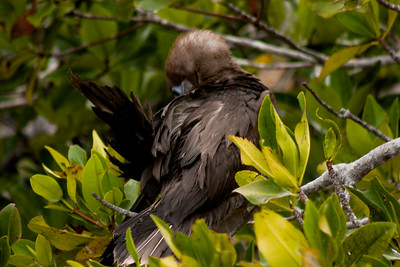 Adolescent Bird in Bush : Journey into Genovesa Island in the Galapagos Archipelago
