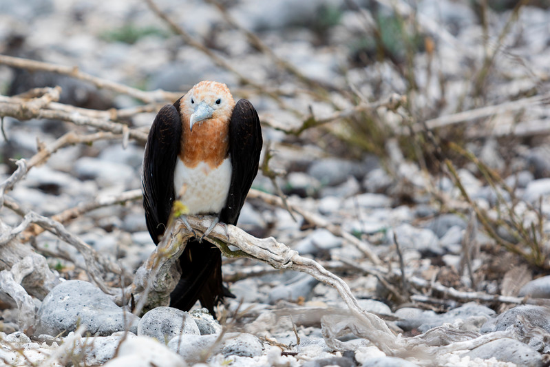 Great Frigatebird juvenile