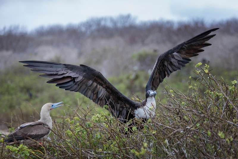 Great Frigatebird and Red-footed Booby