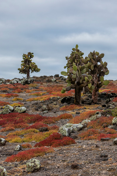 Prickly Pear trees at South Plaza Island