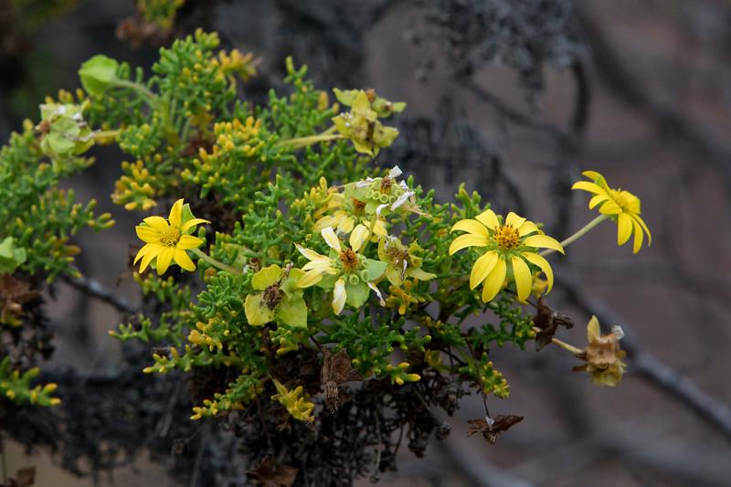 Yellow Cordia at Floreana Island