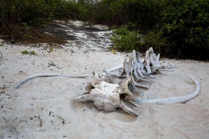 Whale skeleton at Espanola Island