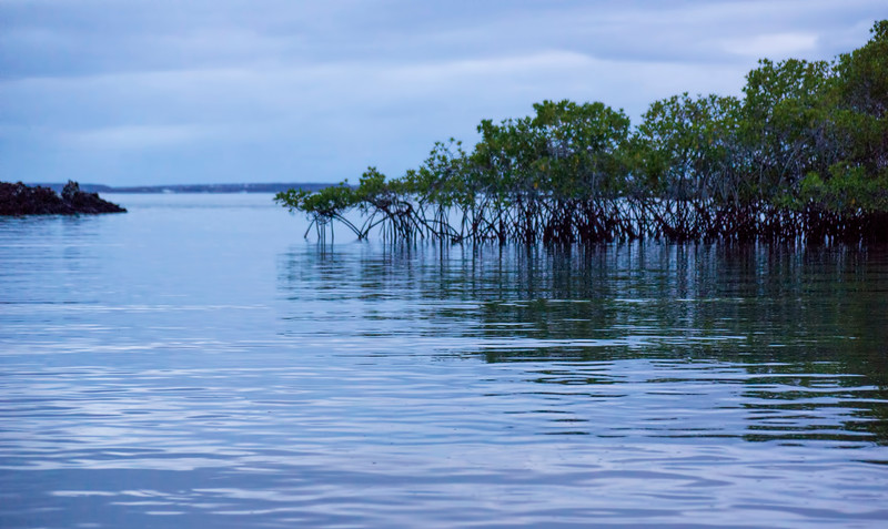 Mangroves on Santa Cruz Island