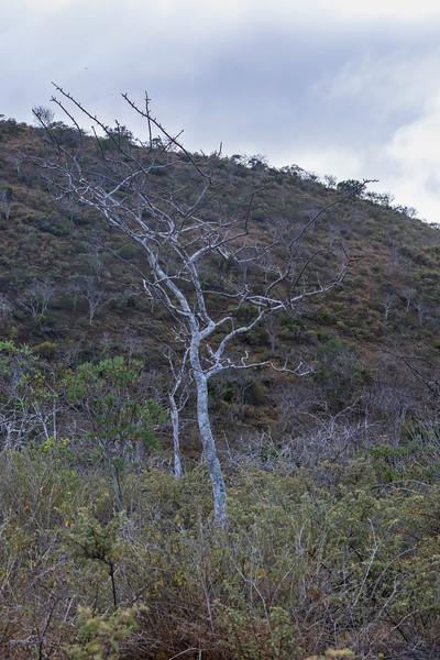 Palo Santo tree at Floreana Island