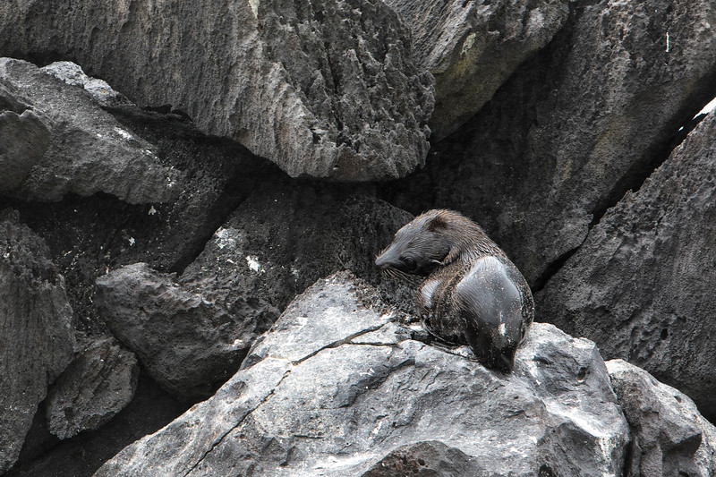 A very rare Fur Seal at Espanola Island