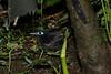 ImmaculatAntbird (2)
