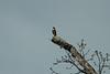 Bat_Falcon_Ecuador_2005_0001