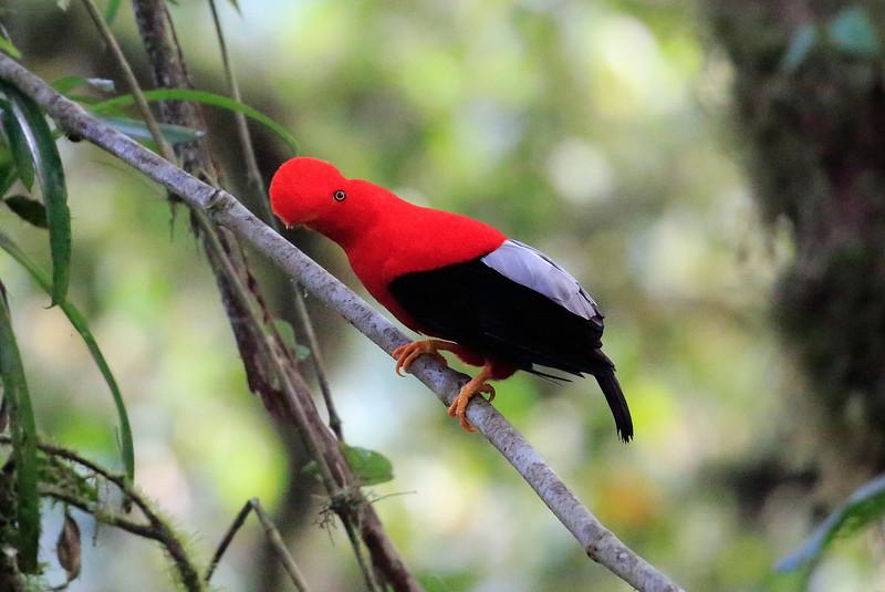 Cock_of_the_Rock_Ecuador_2015_0001