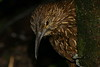 StrongBilledWoodcreeper