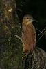 StrongBilledWoodcreeper (7)