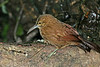 StrongBilledWoodcreeper (3)