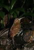 StrongBilledWoodcreeper (4)