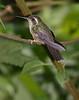 SpeckeledHummingbird-3