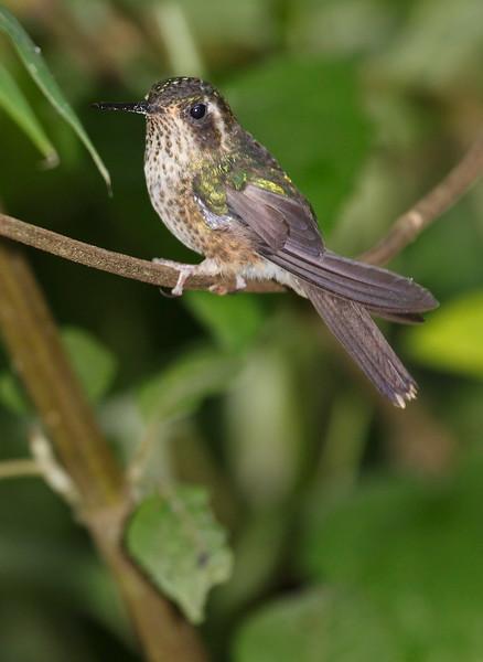 SpeckeledHummingbird-4