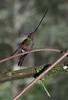 SwordbillHummingbird5