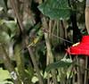 SwordbillHummingbird7