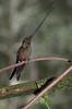 SwordbillHummingbird4