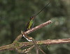 SwordbillHummingbird6