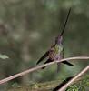 SwordbillHummingbird3