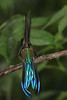 Violet Tailed Sylph (3)