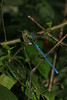 Violet Tailed Sylph (1)