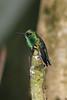 Western Emeraldspe (2)