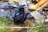 Black Flowerpiercer