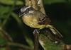 Flycatcher (8)
