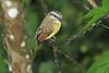 Flycatcher (5)