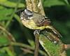Flycatcher (7)