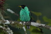 Green Honeycreeper1