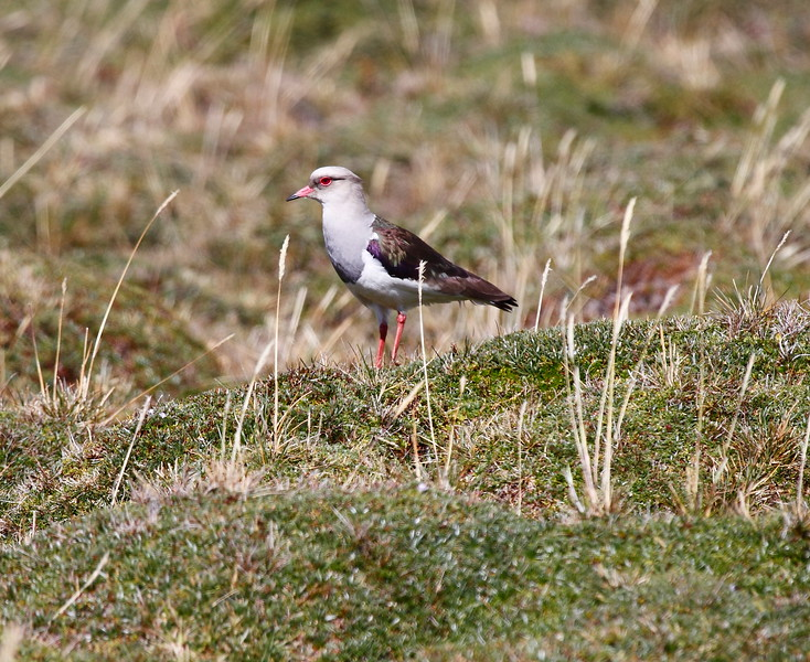 AndeanLapwing1