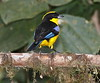 BlueWingedTanager-13