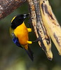 BlueWingedTanager1