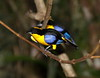 BlueWingedTanager-4