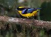 BlueWingedTanager