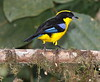 BlueWingedTanager-12