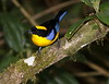 BlueWingedTanager-10