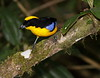BlueWingedTanager-11