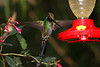 Swordbill Hummingbird Guango