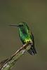 Western Emeraldspe (3)