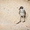 Galapagos Mockingbird (Nesomimus parvulus)