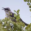 Mockingbird  (Nesomimus melanotis) found exclusively on San Cristobel
