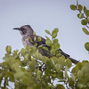 Chatham Mockingbird  (Nesomimus melanotis) found exclusively on San Cristobel