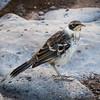 Galapagos Mockingbird (Nesomimus barringtoni) found on Sante Fe Island
