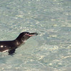 Galapagos penguin is the only penguin found north of the equator.