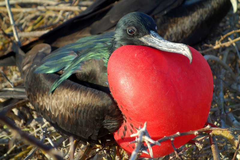 Great frigatebird in the Galapagos trying to attract a female.