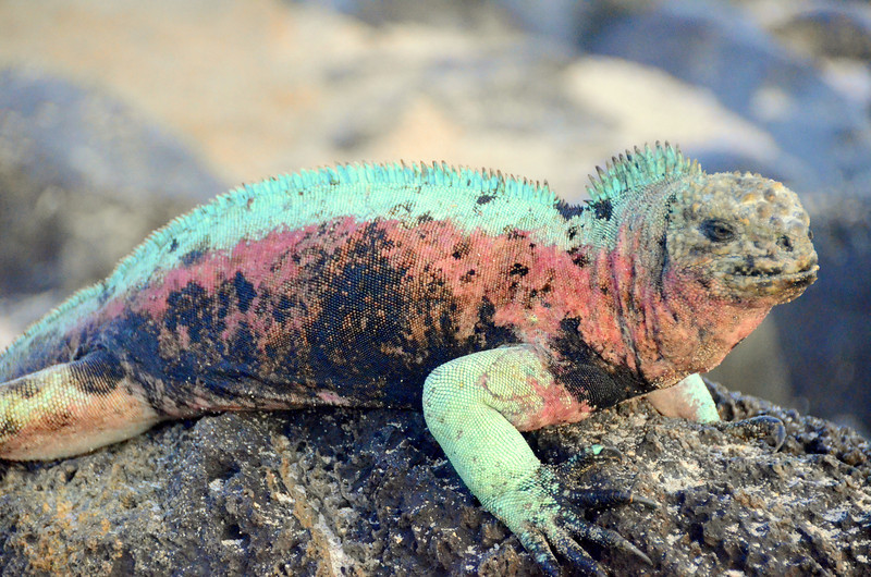 The marine iguana which is unique only to Espanola Island, is also known as the Christmas iguana due to its coloration.