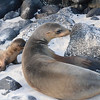 Galapagos sea lion mother & baby