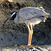 Yellow-crowned night heron in the Galapagos